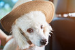 White poodle dog in hat