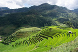 Green Terraced ,Rice Field motion by strong wind,motion blur