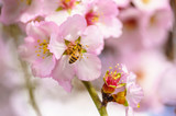 Blossoming peach tree