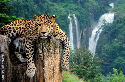 Leopard on waterfall background - 140288927