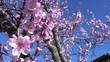 Quadro Spring Flowers, Through Pink Blossoms
