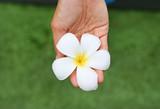 Hands holding frangipani or Plumeria flower in the garden