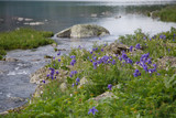 Natural background, mountain river with aquilogy blossoming along the coast, Altai.