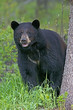 Big Black Bear standing by spruce tree, watching,