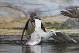 Humboldt Penguin eating fish, and a gull which steals a fish