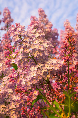 Blooming liliac