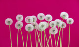Dandelion flower on red color background, spring season concept. object on blank space backdrop