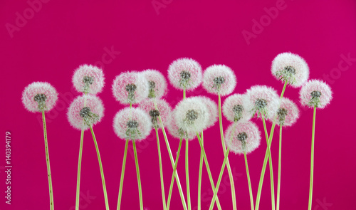 Foto op Canvas Crimson Dandelion flower on red color background, spring season concept. object on blank space backdrop