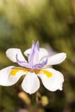 White and purple Douglas iris