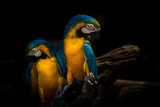 Parrot two some cute animal pet beautiful colorful portrait and couple in tree , isolated black on background