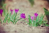 Purple Crocus Flowers Retro