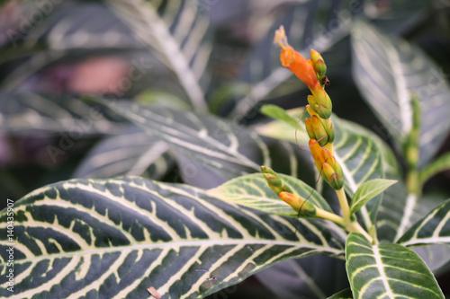 Poster Zebra plant or Sanchezia speciosa Leonard,Yellow Sanchezia