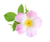 Light pink rose isolated on white. Rosa canina - 140437124