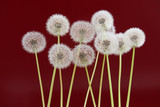 Dandelion flower on red brown color background, object on blank space backdrop, nature and spring season concept.