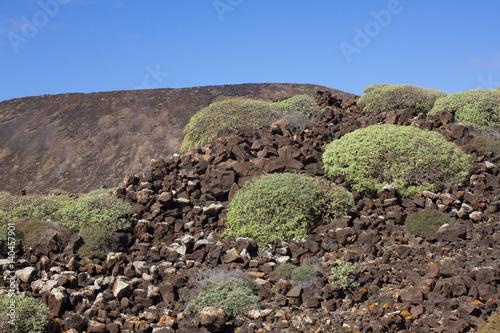 Deurstickers Canarische Eilanden Arid territory of Lobos island, Canary, Spain. Euphorbia balsamifera plant. Tabaiba dulce. Lanzarote