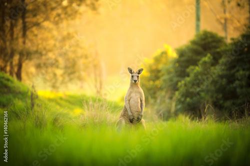 Fotobehang Kangoeroe Kangaroos at sunset