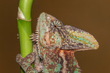 Veiled chameleon - Chamaeleo calyptratus
