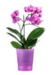 Beautiful orchid in a purple pot