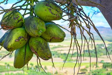 Kokosnüsse in Kuba