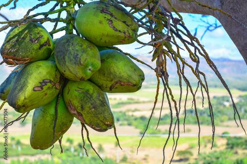 Spoed canvasdoek 2cm dik Havana Kokosnüsse in Kuba