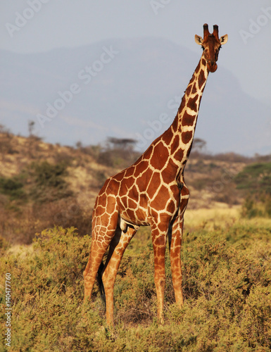 Poster Reticulated giraffe