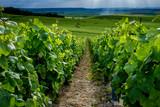 close-up of vines in champagne vineyard Verzenay Marne France