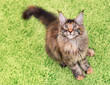 Fluffy tortoiseshell kitty sitting on a green carpet. Portrait of domestic Maine Coon kitten, top view point. Playful beautiful young cat looking upwards.