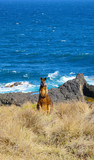 Wild wallaby by the sea off the great ocean road, australia