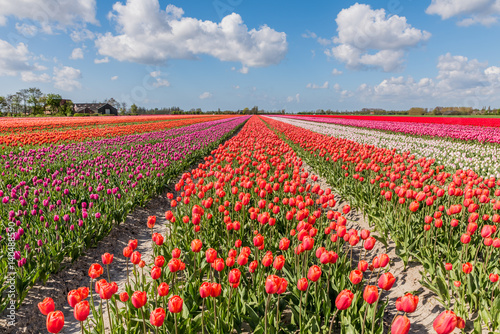 Landscape with flowering tulip fields