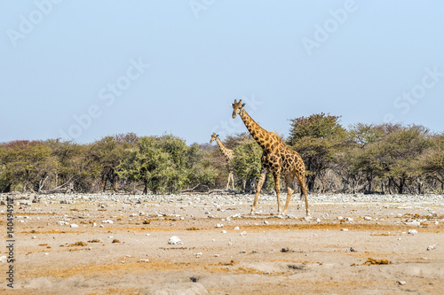 Poster Two giraffes walking in Etosha savannah