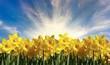 Beautiful Bright Spring Daffodils