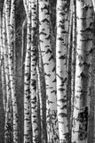 Birch tree trunks - black and white natural background