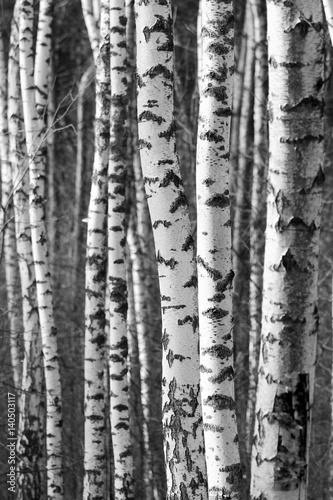 Fotobehang Berkenbos Birch tree trunks - black and white natural background
