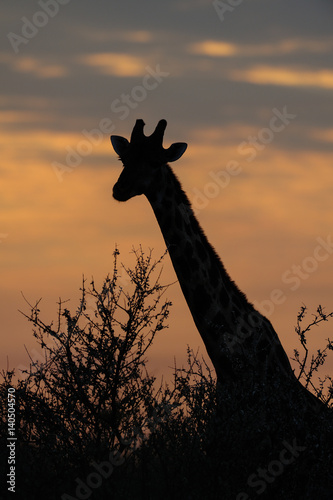 Poster giraffe bei sonnenaufgang