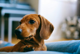 4 months old smooth brown dachshund puppy resting with its owner.   Stock photo ID: 597445538