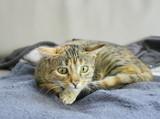 chat,expressif,aux oreilles couchées et gros yeux, air méchant