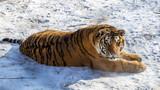 Siberian Tiger (Panthera tigris altaica)