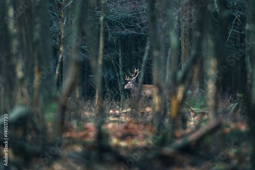 Red deer stag between trees in forest. National Park Hoge Veluwe.