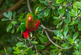 King-parrot