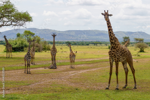 Poster Giraffes in Serengeti national park