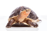 Chinese Box Turtle (Cuora flavomarginata)