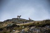 Sheep on Mt Snowdon