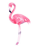 Watercolor flamingo. Painted image. Vector illustration
