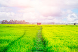 old hut in the green rice field.