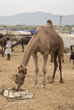 camel in feed