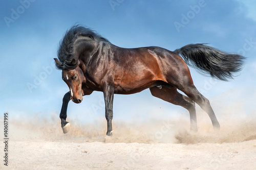 Fototapeta Bay stallion with long mane run in dust against blue sky