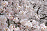 Flower background of cherry blossoms during spring in Japan