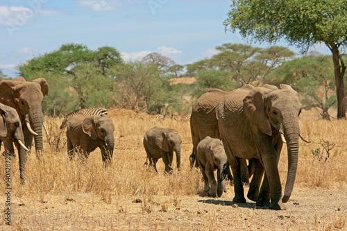 Poster Elefantenherde mit Zebras im Hintergrund