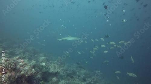 Grey reef sharks ,Maldives, Indian ocean