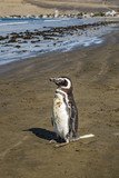 Lonley Penguin at Shore Chubut Argentina